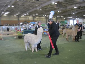 Sculptor being awarded his 1st place ribbon at Manawatu Show 2015