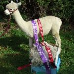 Topaz - Champion White  Fleece & Champion White Alpaca