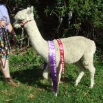 Sculptor's Image Champion Light Fawn Alpaca