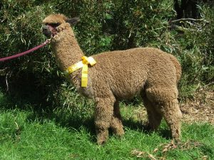 Visually a fawn alpaca, she is actually a roan
