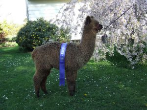 Apparently a solid brown, this alpaca is actually a roan