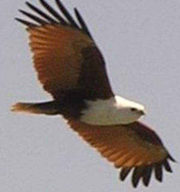 Brahminy kite darwin nt %28hl%29 09 july %2813 17%29 612 b