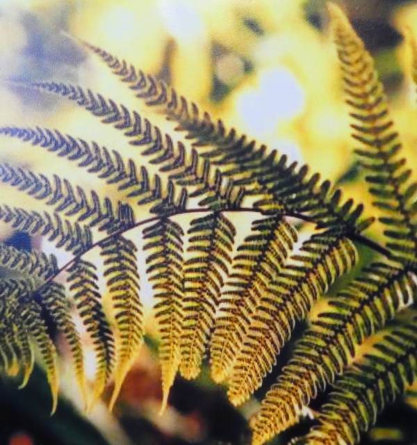 Fern frond 'feather' bmtns %28hl%29 p1150994