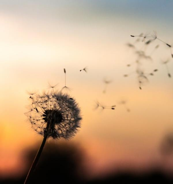 Dandelion photo by maarten deckers on unsplash