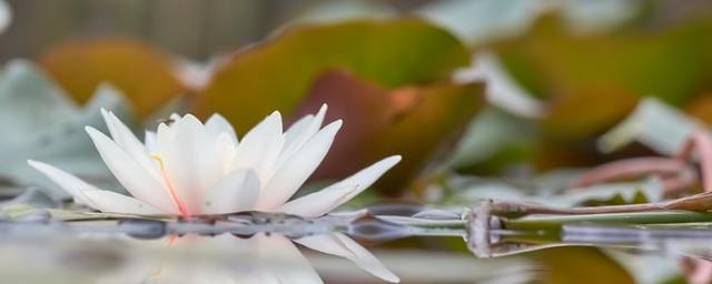 White lotus by wolfgang hasselmann on unsplash