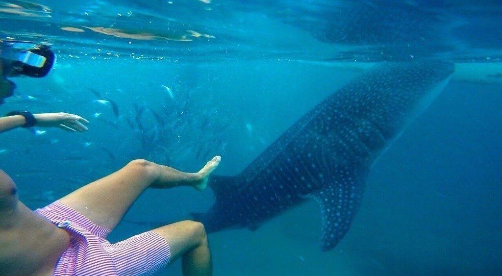 Swimming with whale sharks ('gentle giants') in Oslob, Cebu