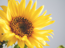 Sunflowerclinic wellbeing directory
