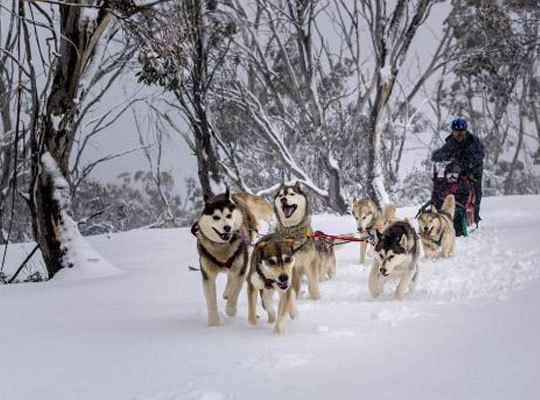 Howling husky sled dog tours