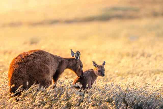 Kangaroos 1200X629
