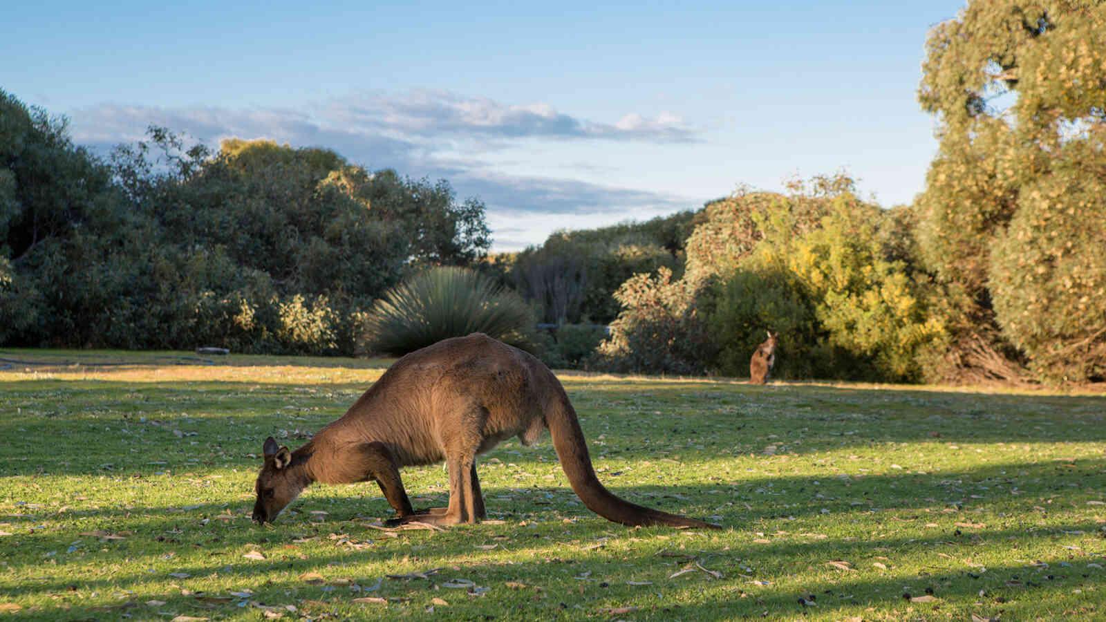 Kangaroo Island Kangaroo 1920X1200Px