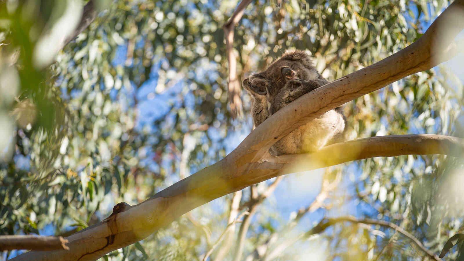 Koala 1920X1200Px
