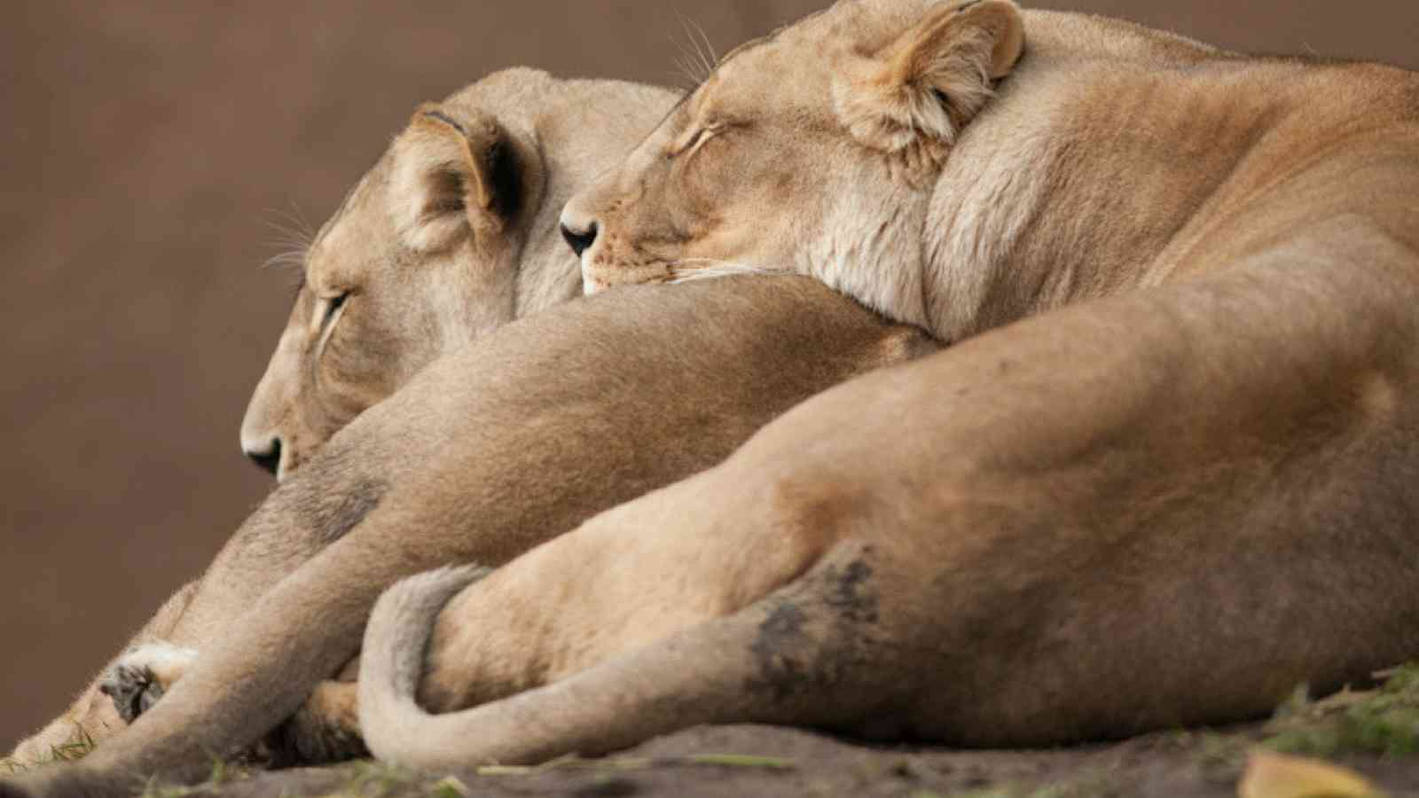 Lionesses At Bedtime