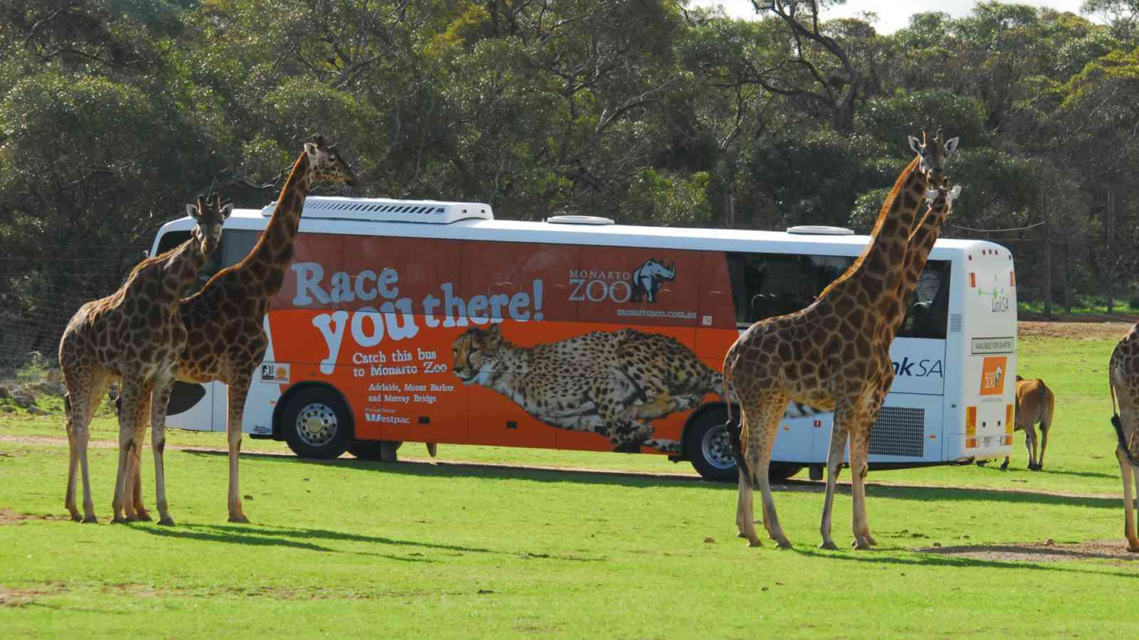 Giraffe Safari 1