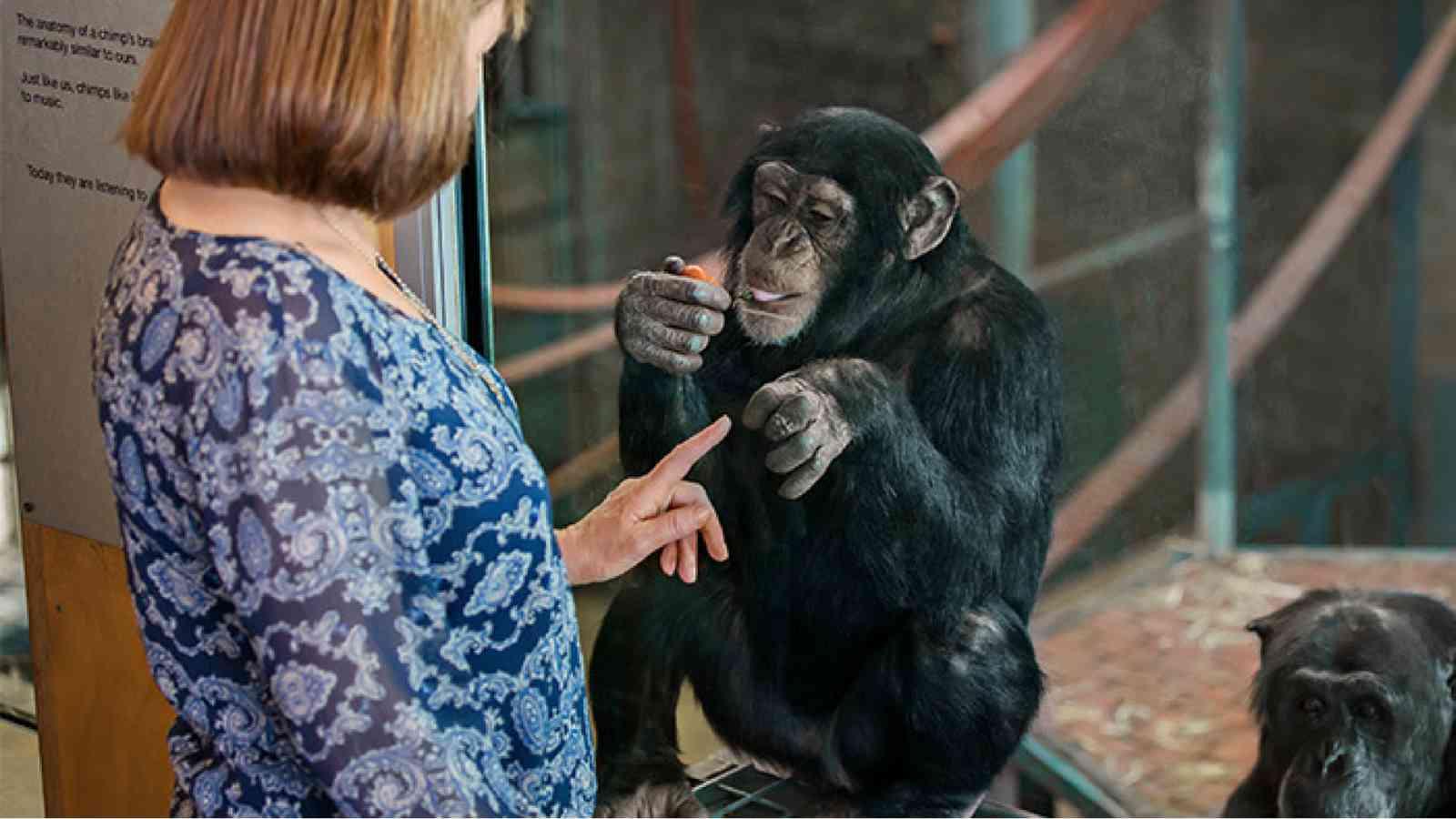 Meet The Chimps Feeding