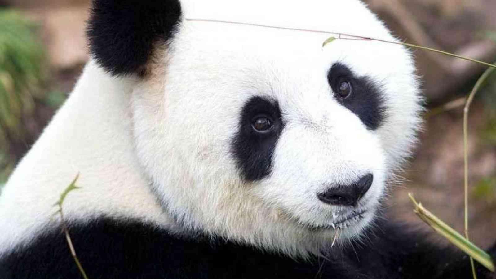 Vip Panda 1