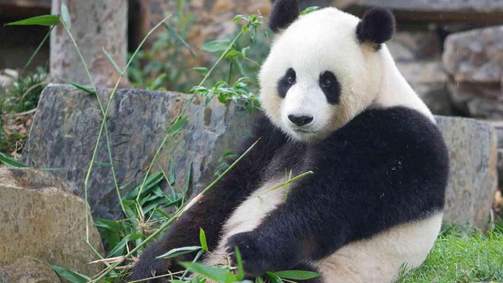 Vip Panda