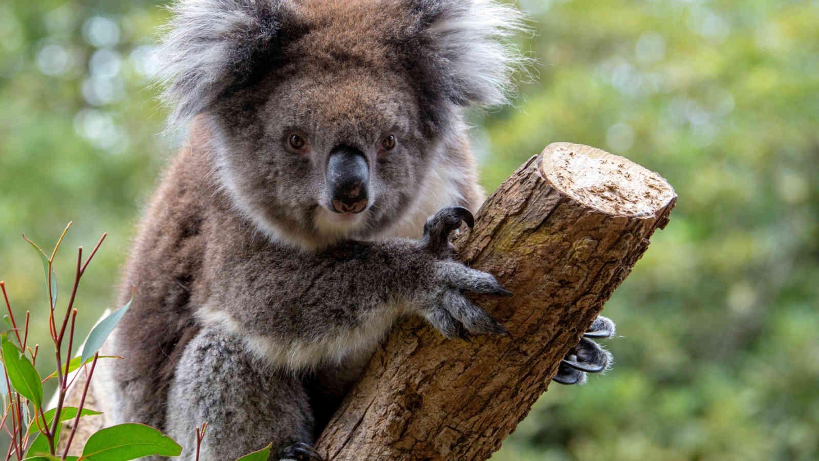 Adelaide Zoo Vip Koala