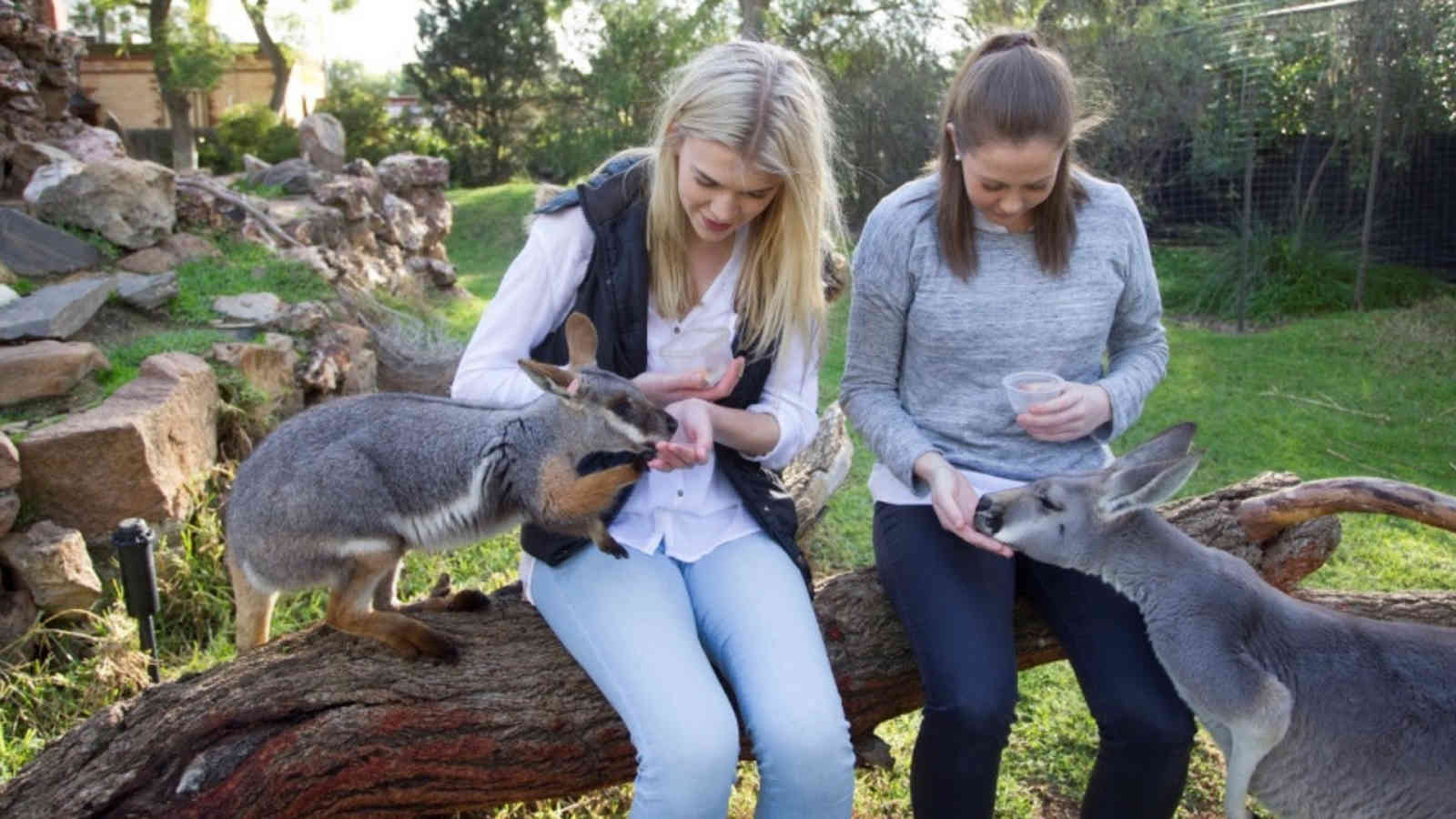 Adelaide Zoo Vip Wallaby