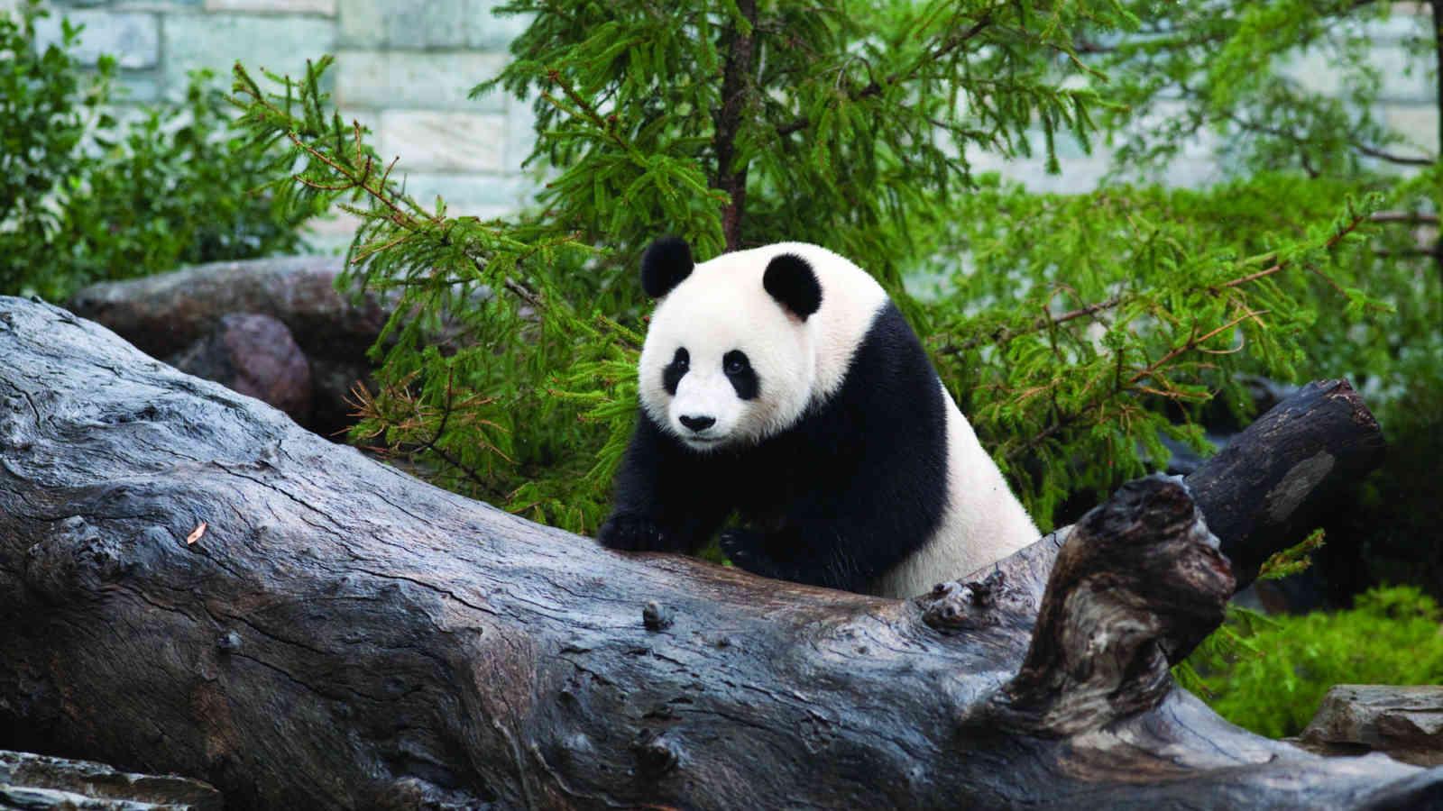 Adelaide Zoo Panda