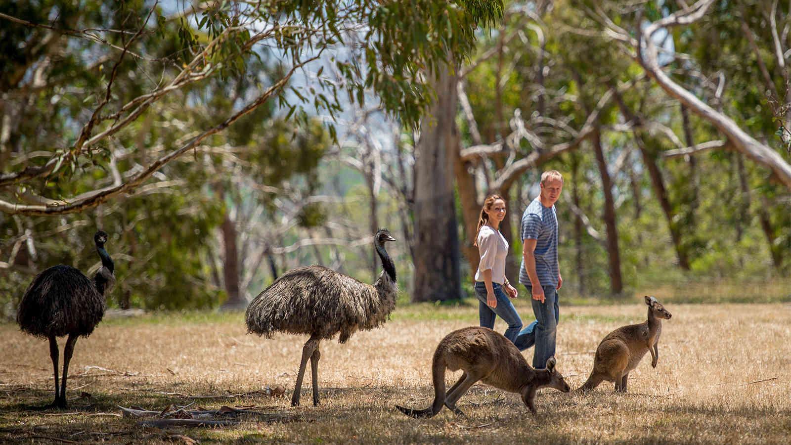 Cleland Wildlife Park Emus