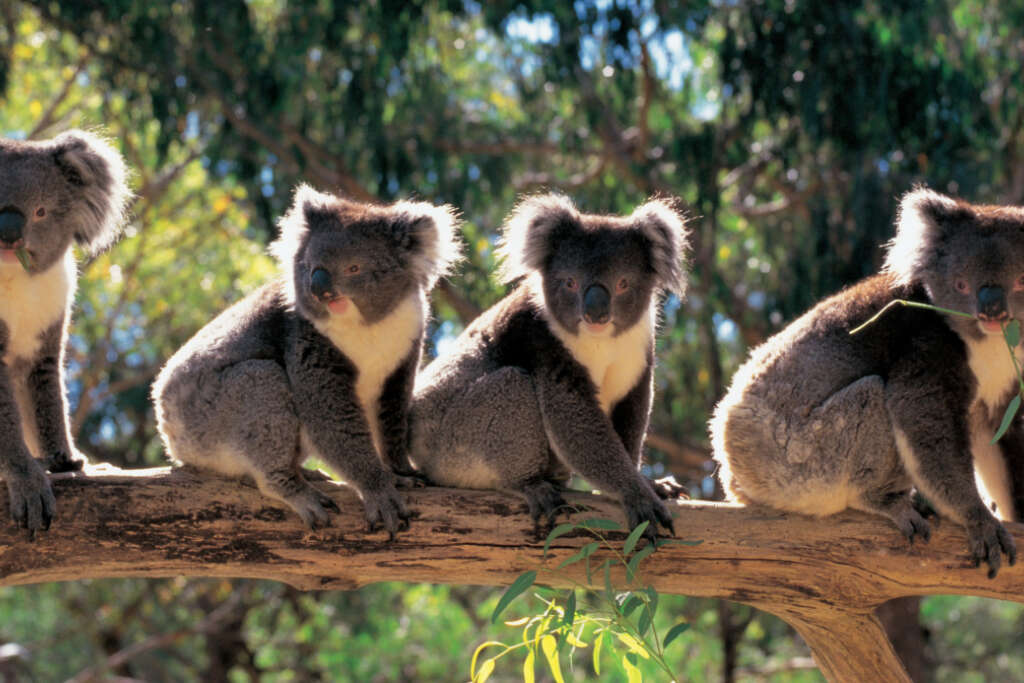Cleland Row Of Koalas