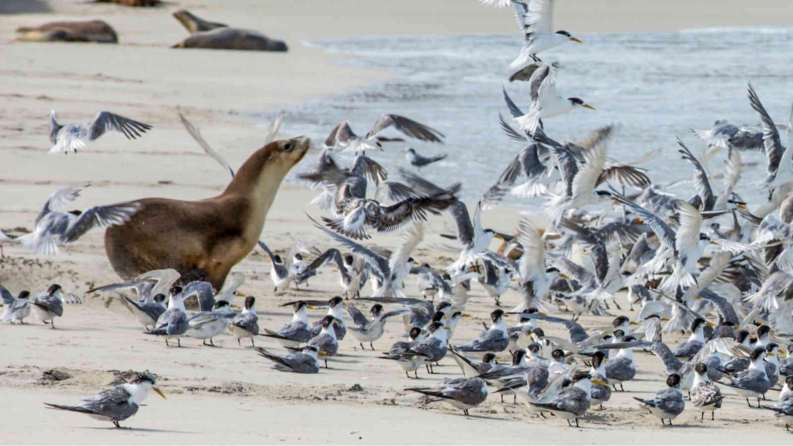 Kangaroo Island Seal Bay Beach