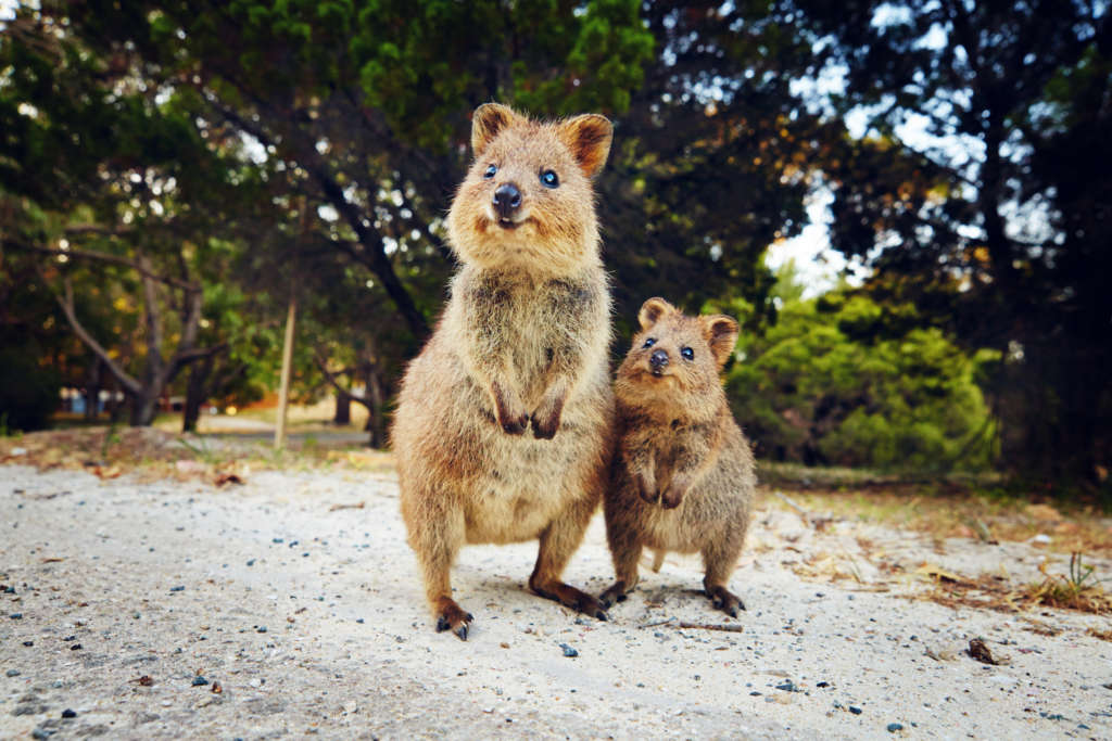 Two Quokkas