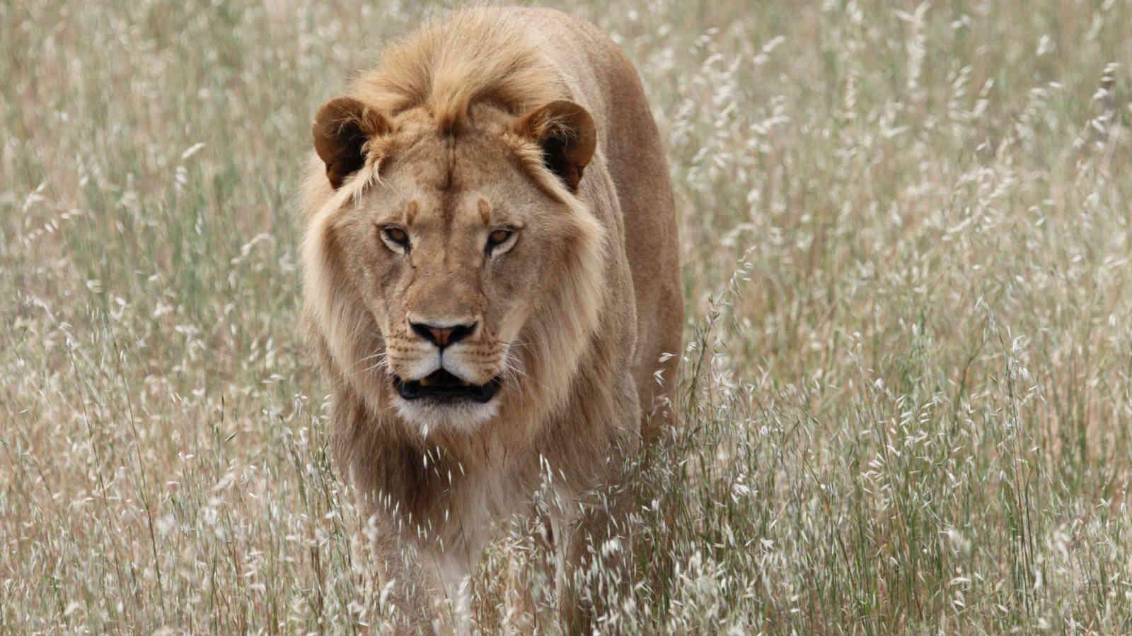 Monarto Zoo Lion