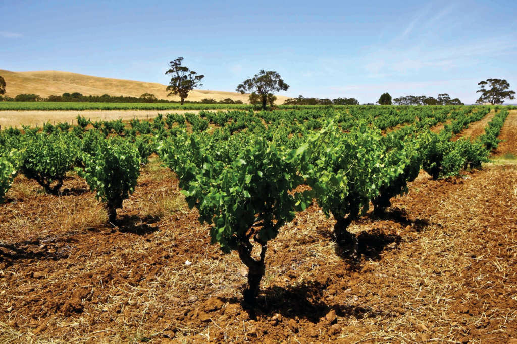 Barossa Vineyard