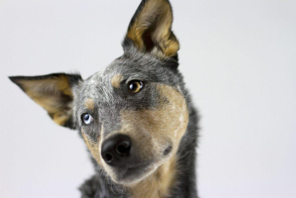 Urbanest student accomodation ultimate guide to Aussie slang meet Bluey an Australian blue heeler or cattle dog