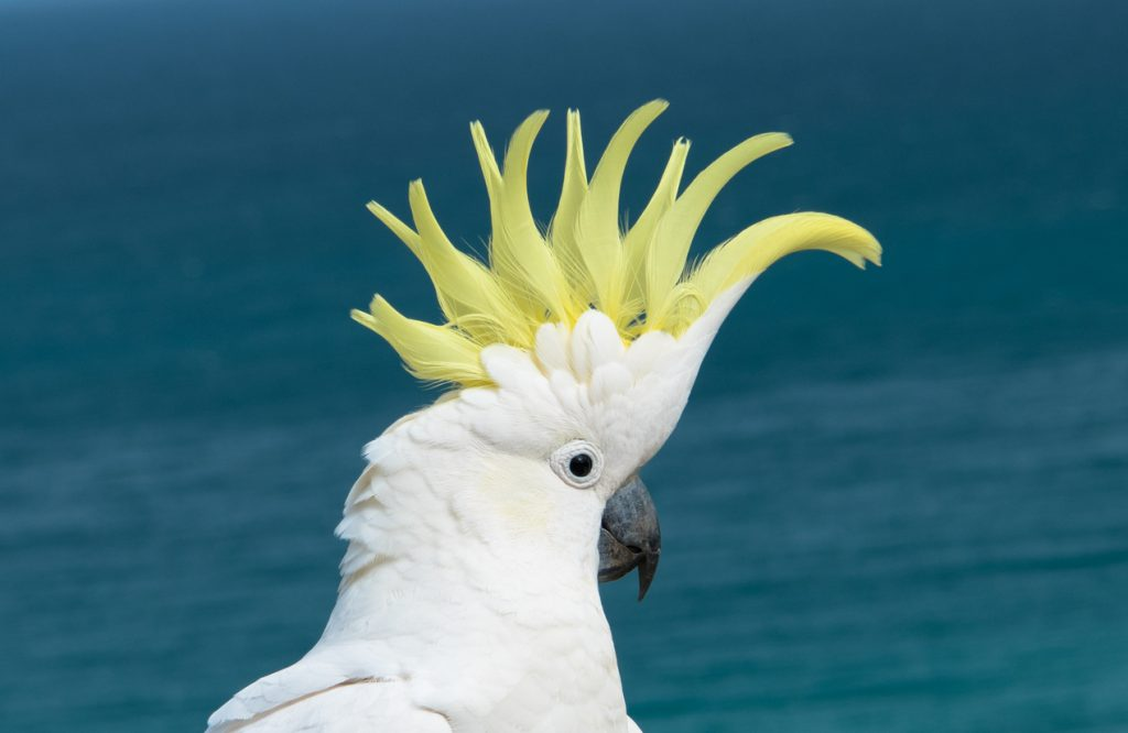 Urbanest student accomodation ultimate guide to Aussie slang hello cockie a native Australian Cockatoo