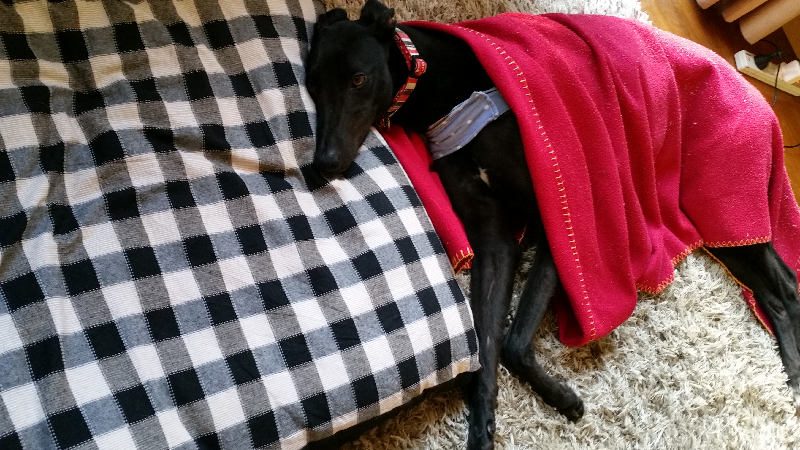 pet Greyhound Dogs jackie