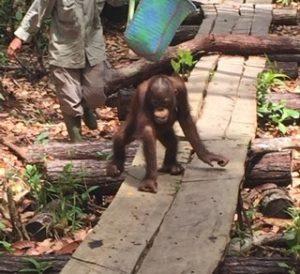 orangutan from Sue's volunteering job