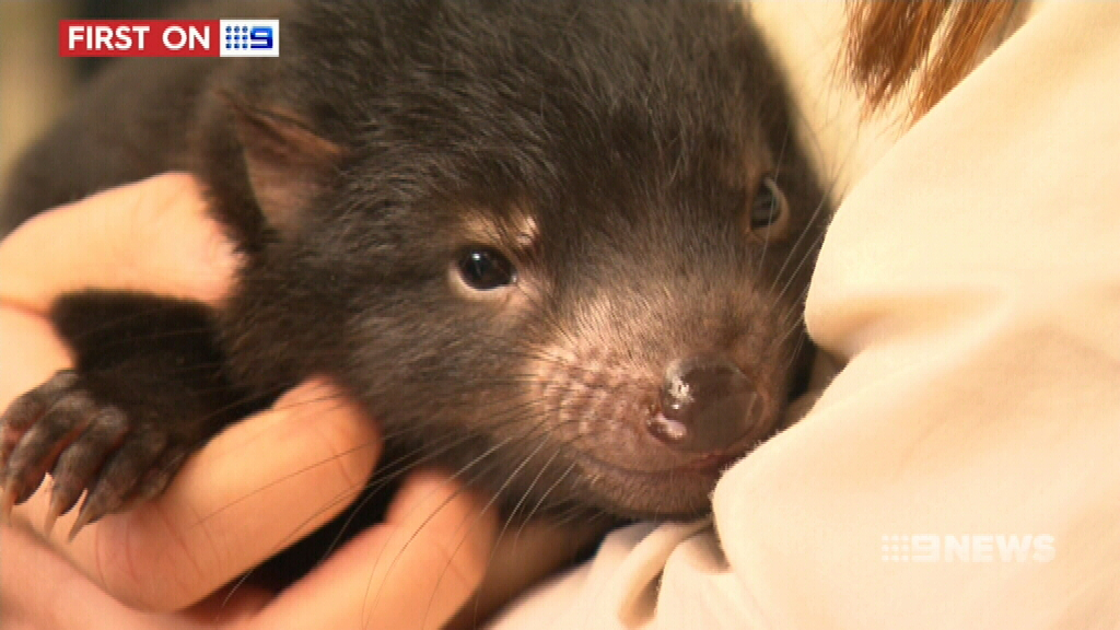 First full physical check-up for new Tasmanian Devils