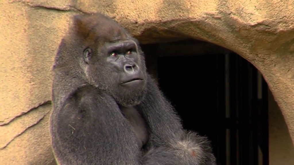 Zoo welcomes new gorilla after Harambe