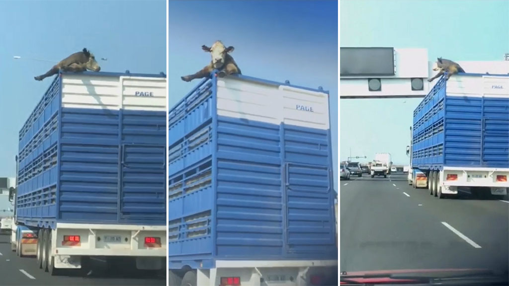 The hilarious moment a cow gets its body stuck out of the top of a cattle truck