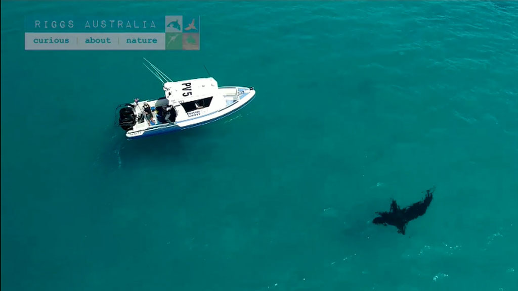 Massive shark filmed swimming in WA waters