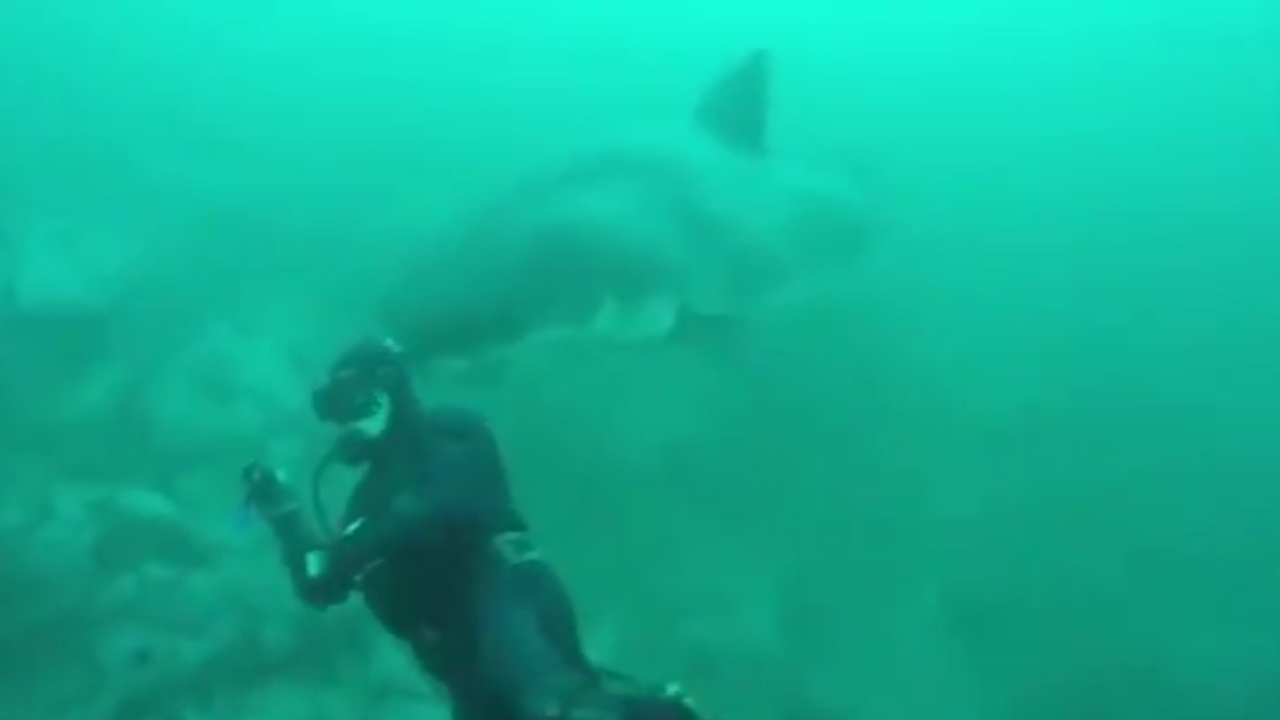 Huge great white shark reminds diver to keep a watchful eye