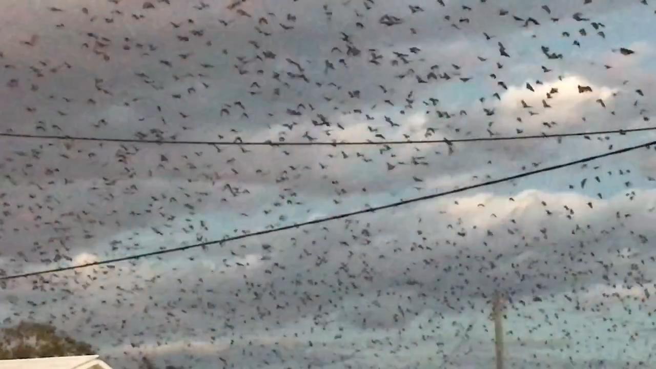 Queensland town overrun by thousands of bats