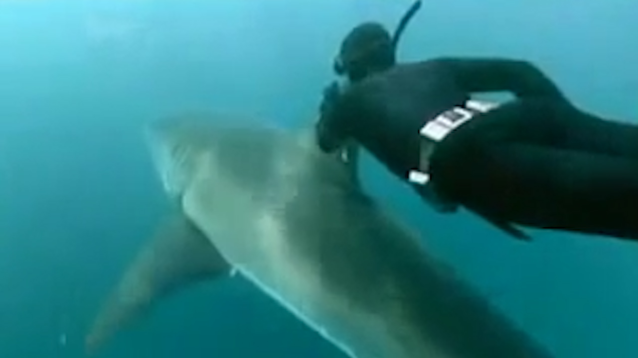 Free diver hitches a ride with a great white shark