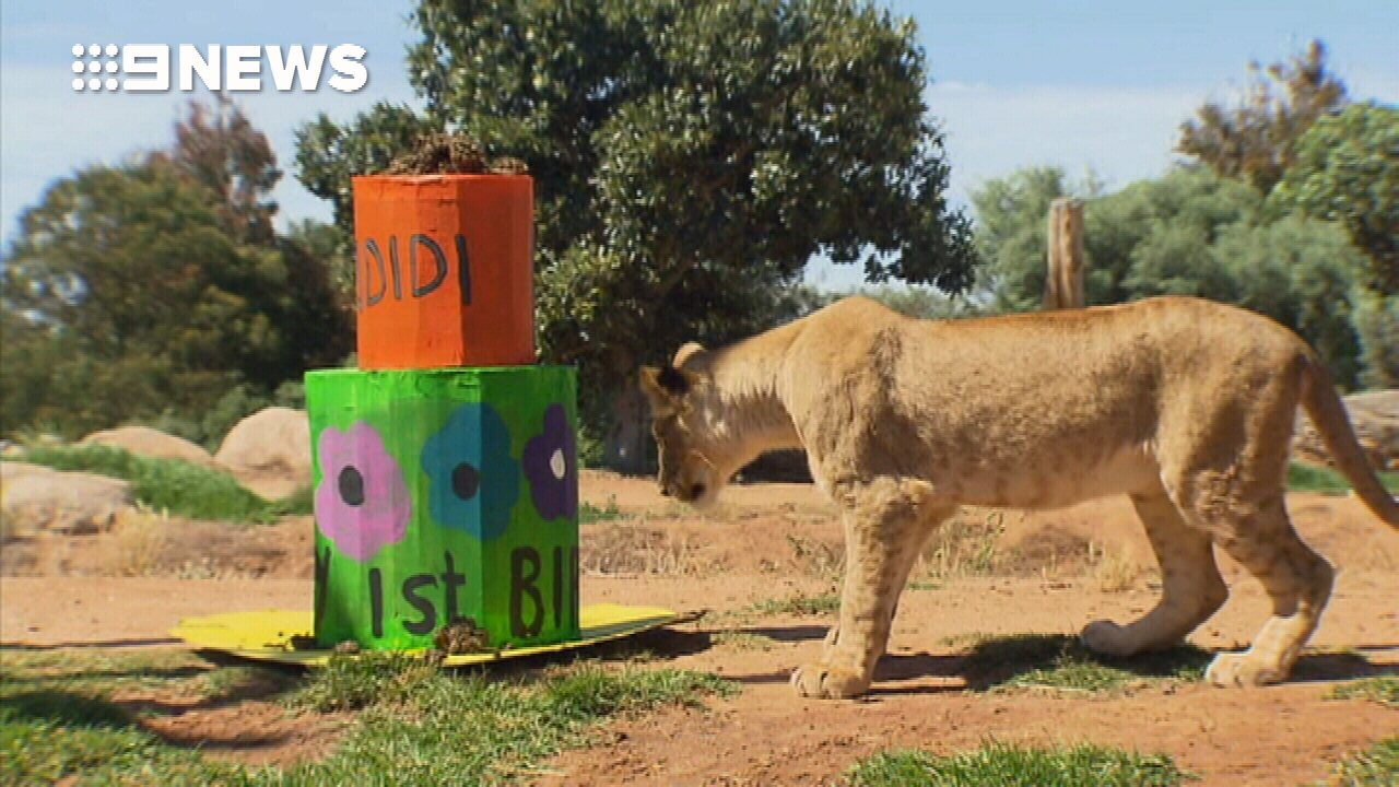 Lion cubs tear into first birthday cake