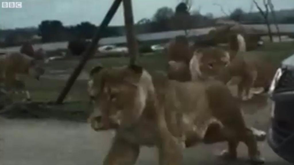 Lions attack car in English safari park