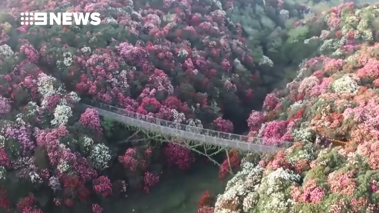 China's south-west transformed by azalea blooms