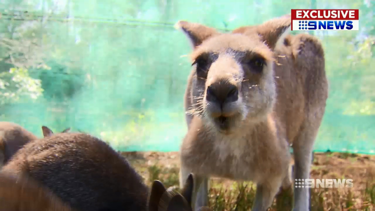 Animal bridge to be installed on northern beaches to stop road kill