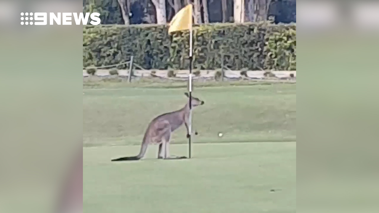Kangaroo baffled by golf flag