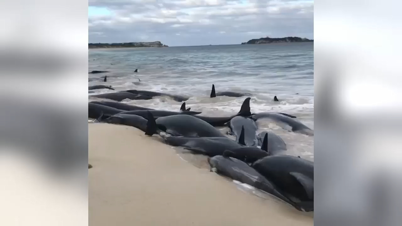 Whales stranded on WA beach