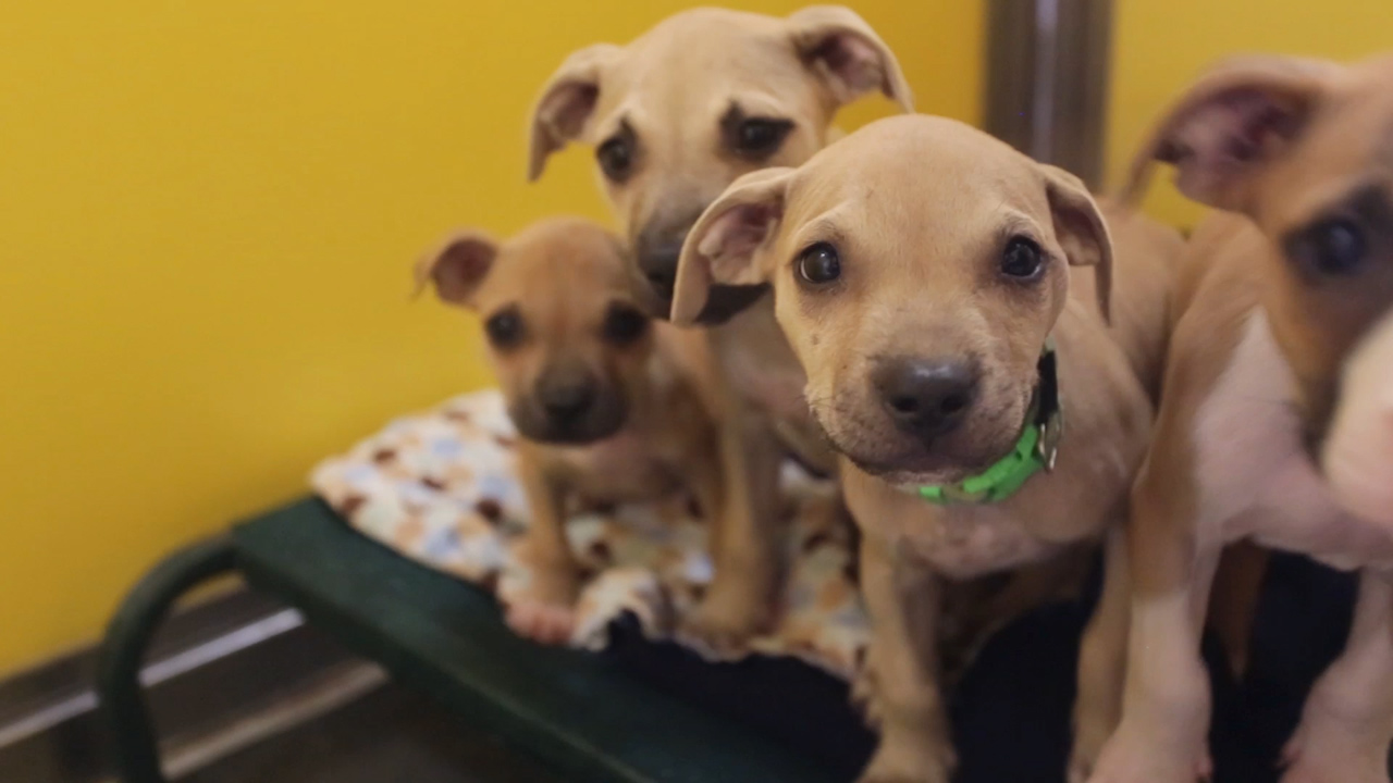 Dogs rescued from alleged dog-fighting ring
