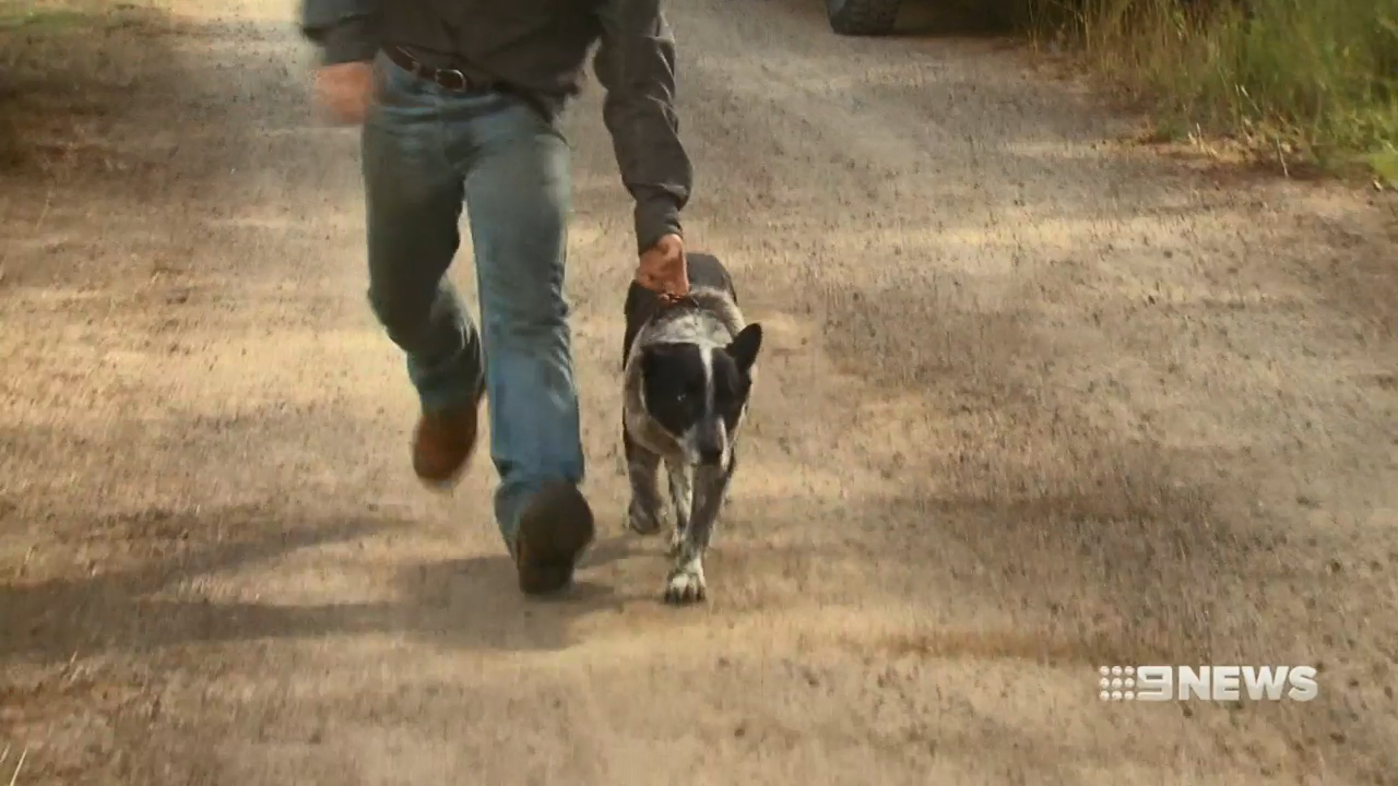 Loyal cattle dog guarded missing girl through night
