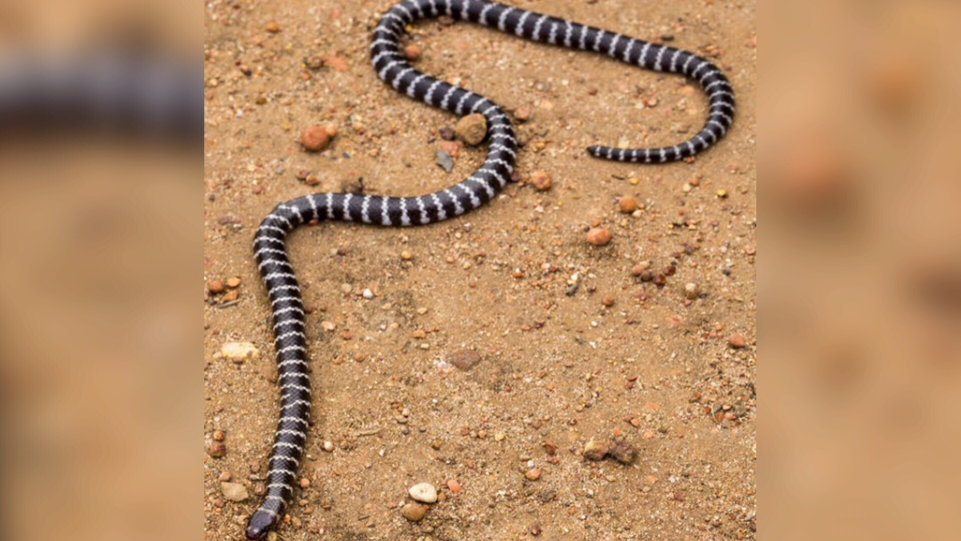 New species of venomous snake found