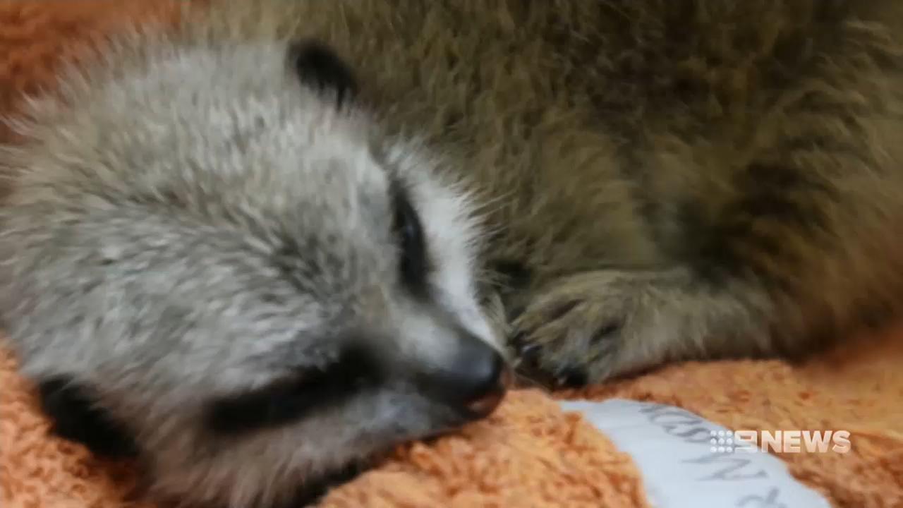 Baby meerkat found